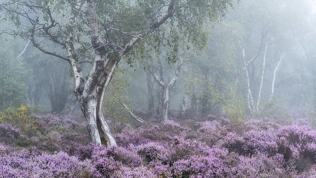 Silver Birch and Heather 5