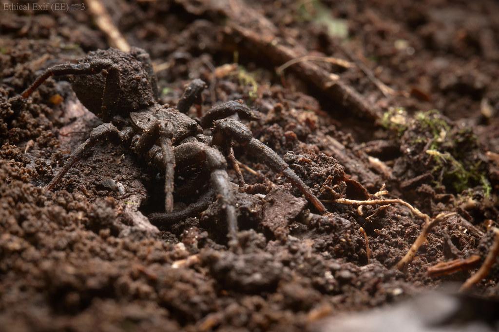 Mud tarantula (Paratropis sp.)