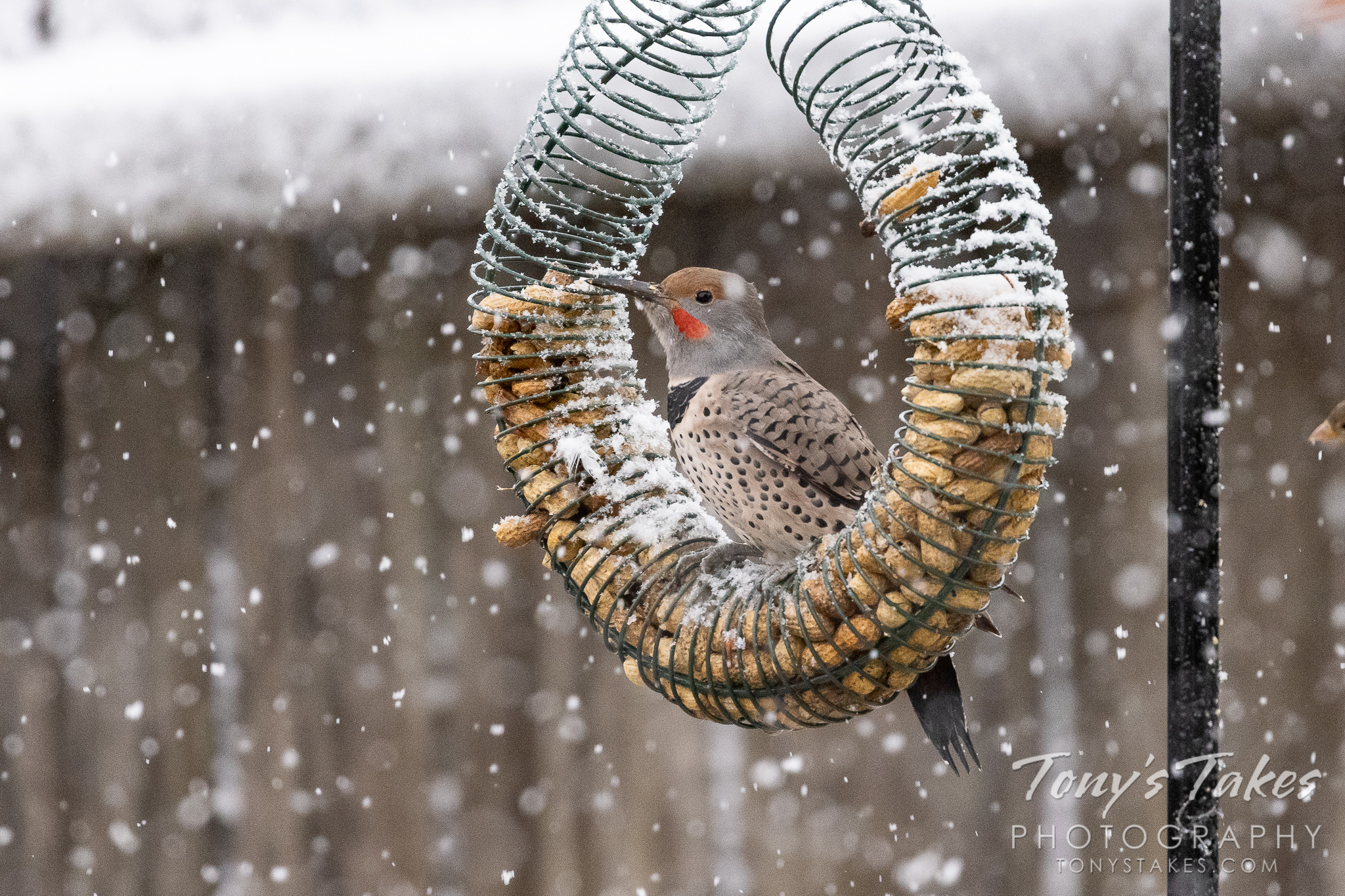 A northern flicker hangs out at a feeder as snow falls around it. (© Tony's Takes)