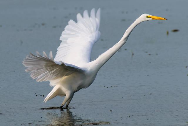 Great Egret - 0531