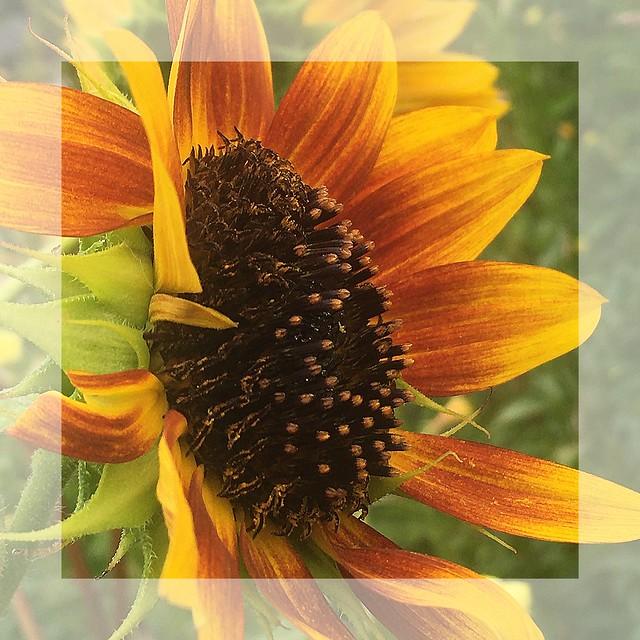 September Sunflower