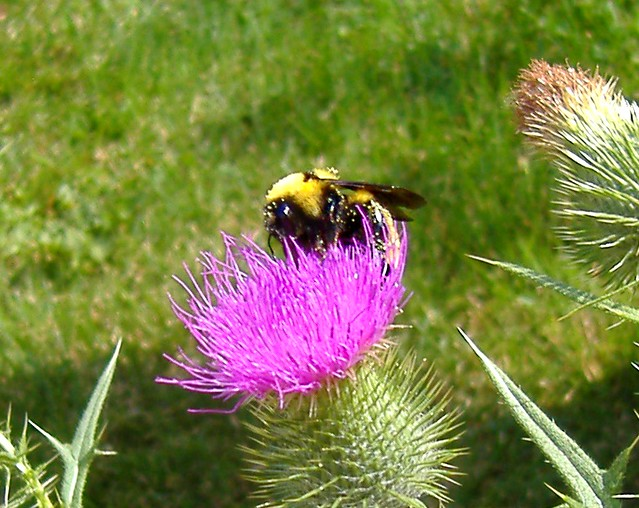 Giant bumblebee on thistle #3