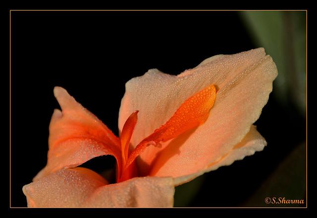 Canna lily close-up