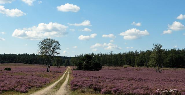 De heide bij de Loenermark. Heathland at Loenermark - Veluwe.