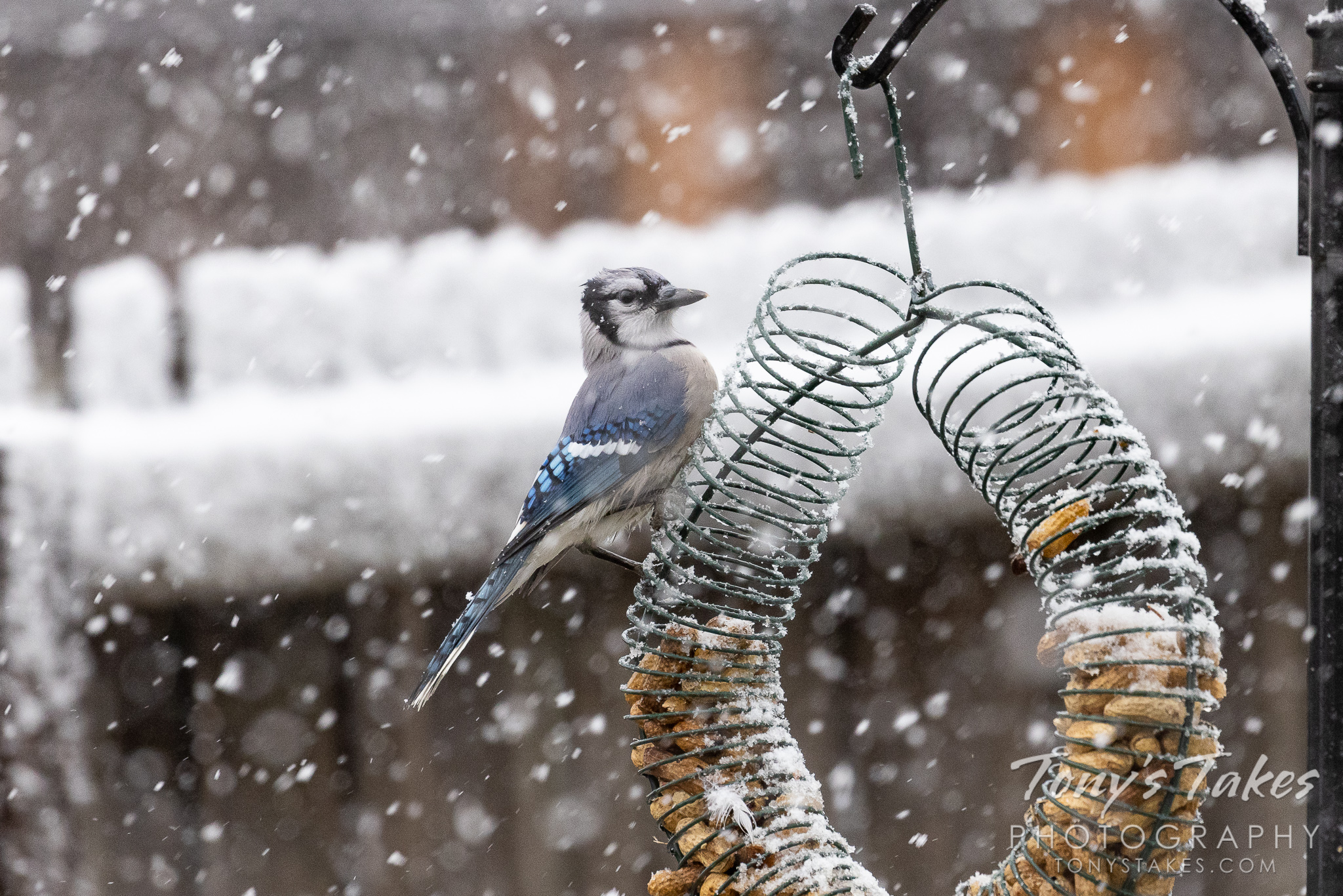 Blue jays and flickers enjoy the first snowfall of the season