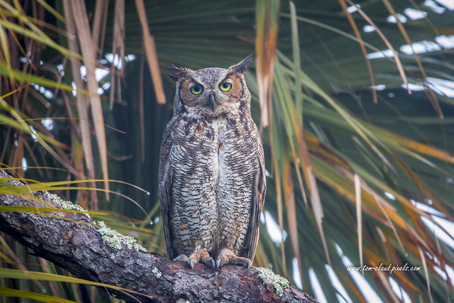 Great Horned Stare