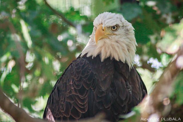 Bald Eagle (2)