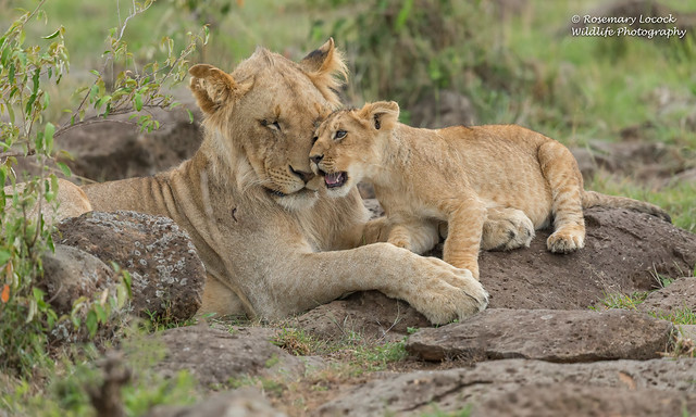 Male Lion And Cub - Panthera leo.