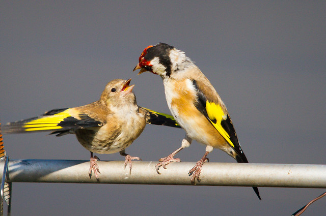 Goldfinch feeding the 4th brood of the year