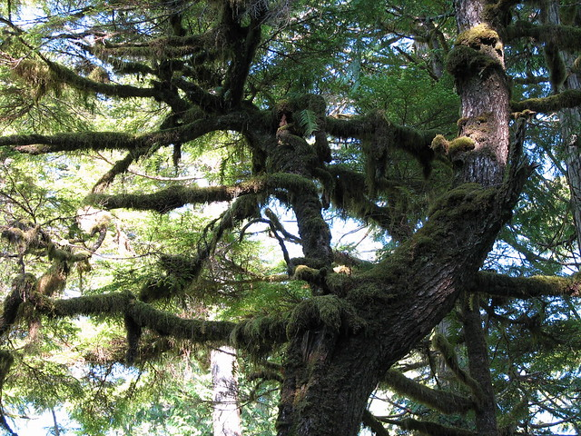 -giant tree -