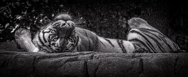Tiger in Zoo Zurich - Switzerland