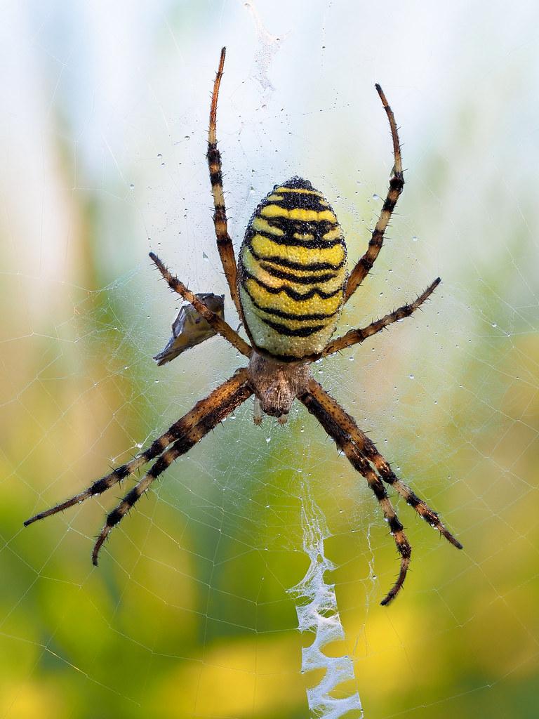Wespenspinne | wasp spider (Argiope bruennichi)