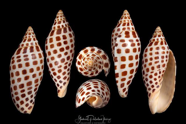 Scaphella junonia junonia (Lamarck, 1804)
