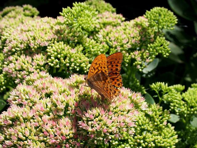egy öreg lepke / an old butterfly