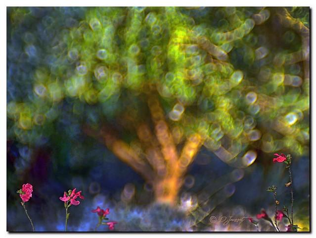 Fleurs de Sauge devant la lavande et l'Olivier