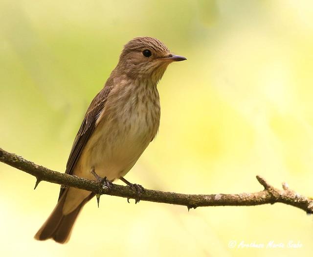 The little lovely Spotted Flycatcher (Muscicapa striata), Szürke Légykapó - Σταχτομυγοχάφτης