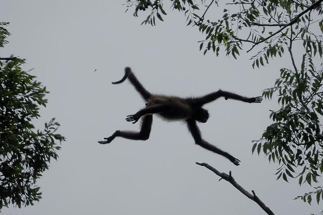 Коата Жоффруа, Ateles geoffroyi, Geoffroy's spider monkey