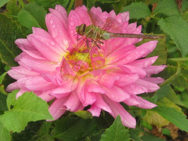 Libellule sur un dahlia rose. Dragonfly on a pink dahlia.
