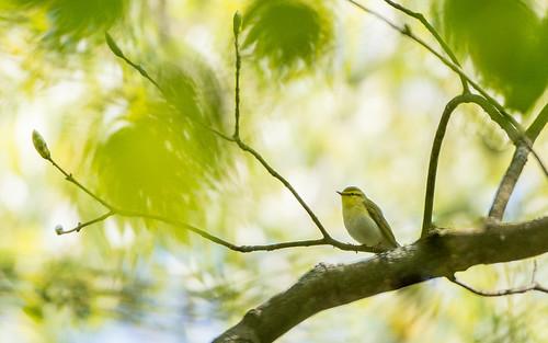 Wood warbler - Phylloscopus sibilatrix - Fluiter