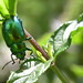 Mint Leaf Beetle 1
