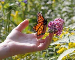 Monarch Tagging at Monarch Landing