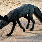 Silver Fox - Prowl