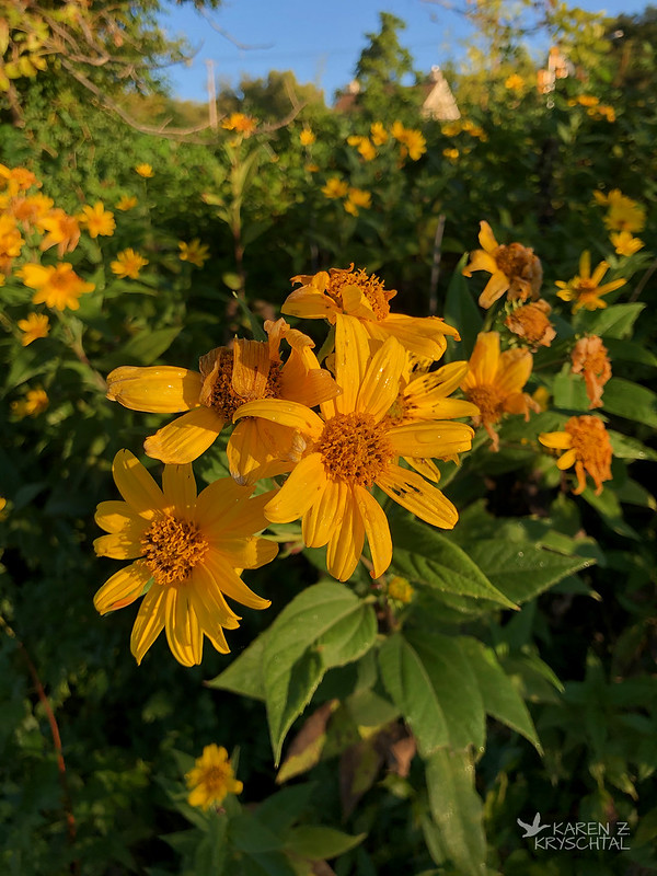 IMG_7721FalseSunflowers