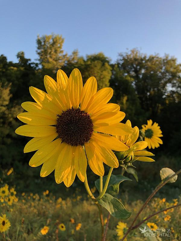 IMG_7716Sunflowers