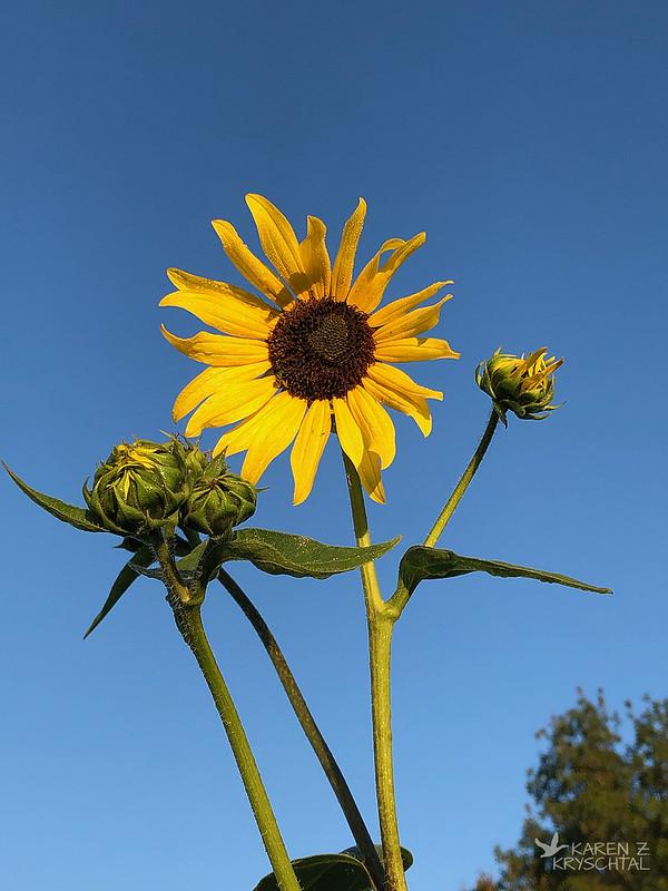 IMG_7715Sunflowers