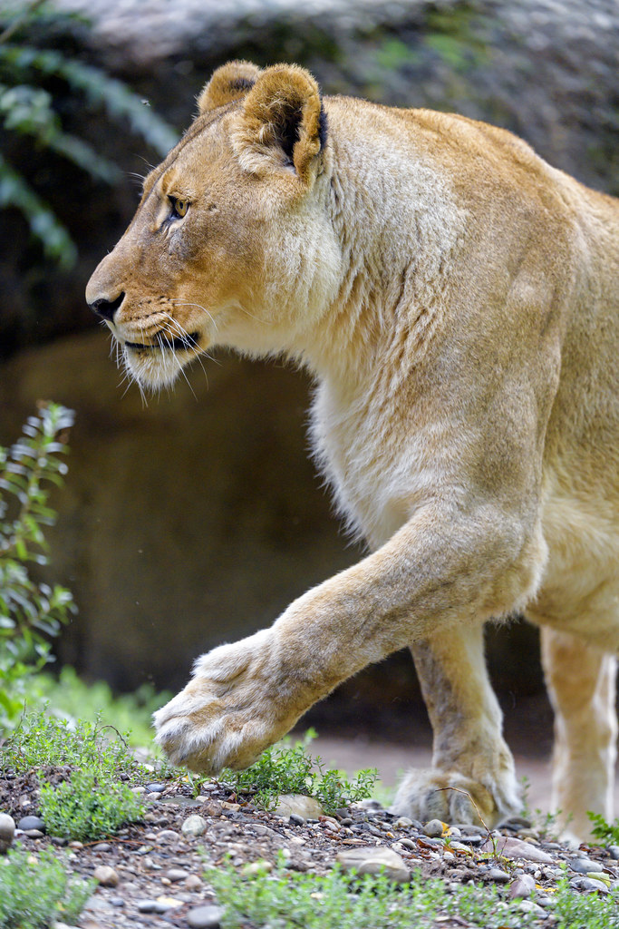 Profile of a lioness walking