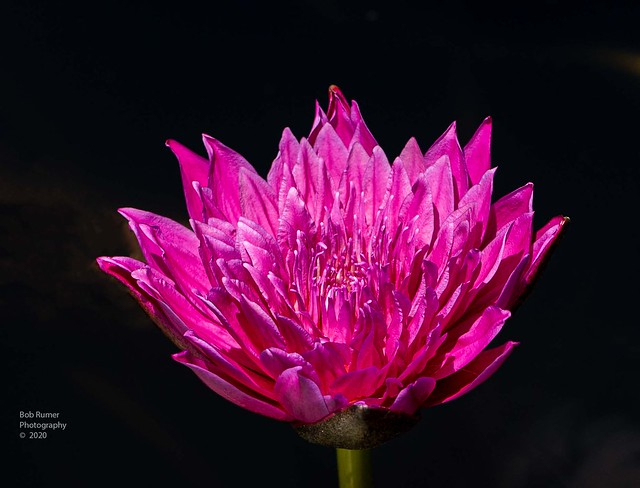 Tropical Day-Flowering Water Lily.