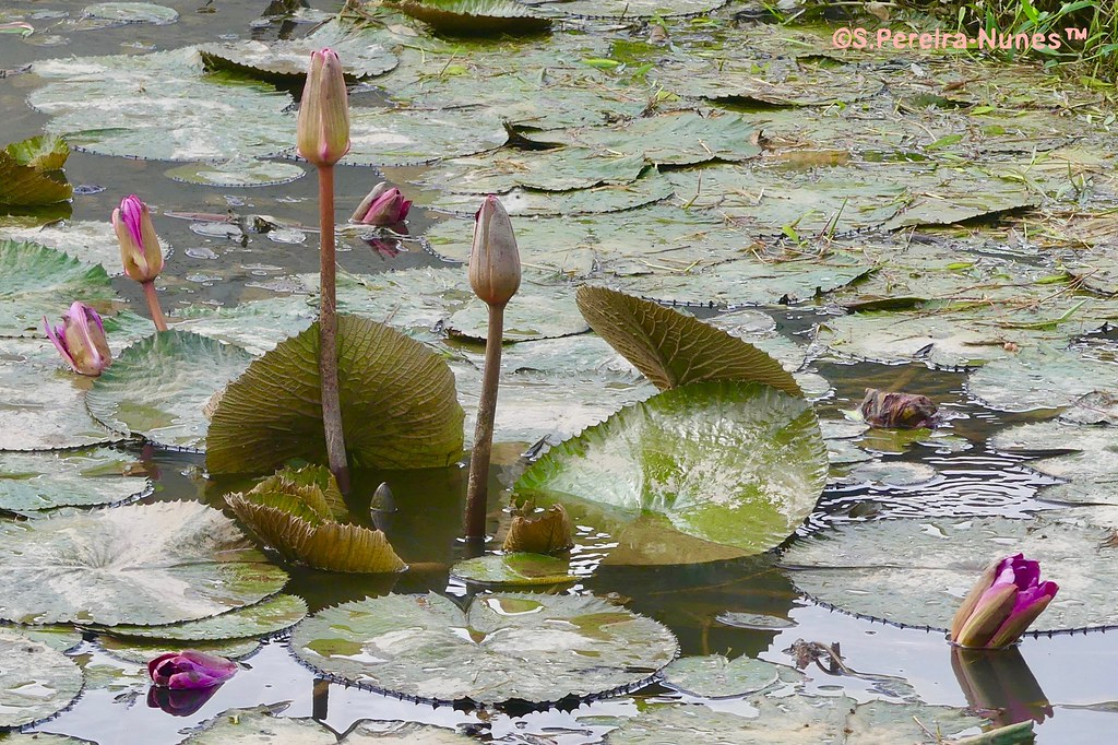 Many lotuses blossoming, Paramaribo, Suriname - In Explore 14SEP20