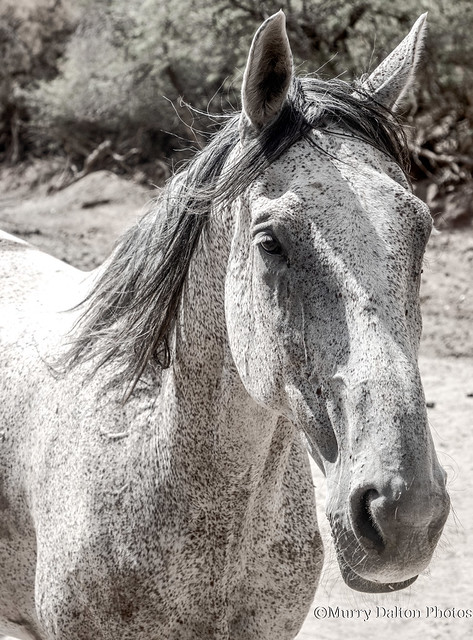 Poka-Dot Horse (Leapard Appaloosa) IMG_1879