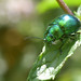 Mint Leaf Beetle 2