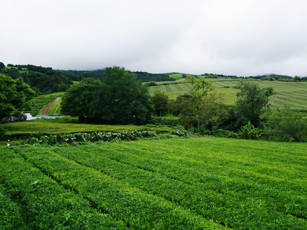 Cha Gorreana tea fields