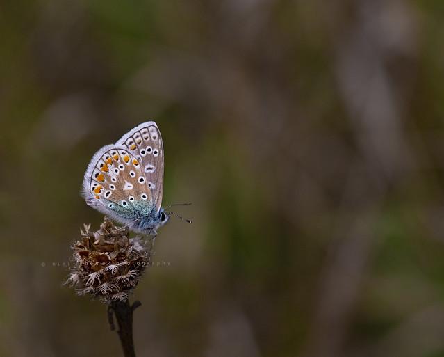 common blue / azuré bleu commun