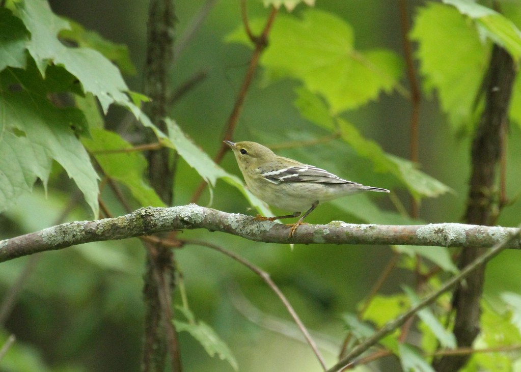 Blackpoll Warbler in fall plumage