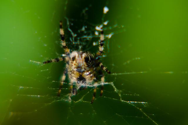 Female garden spider and web