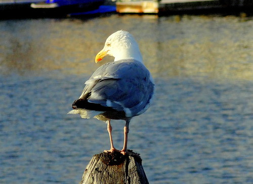 newyork brooklyn dmitriyfomenko image millbasin water gull post reflection
