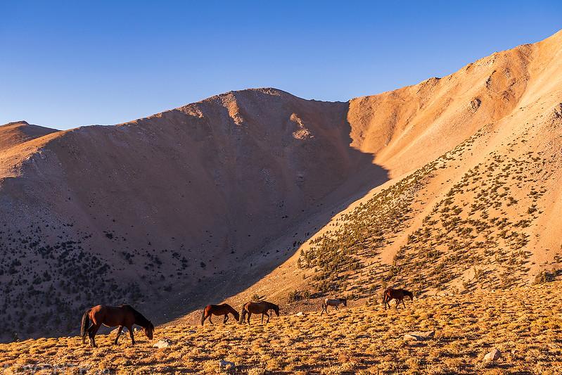 Five Wild Horses
