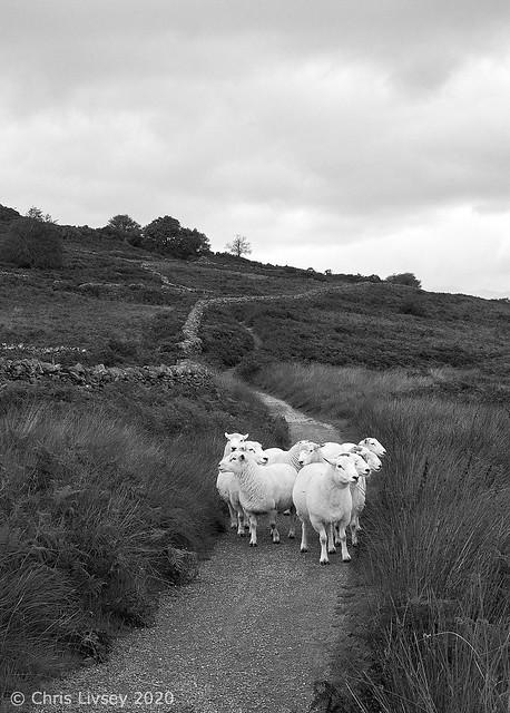 Welsh Sheep