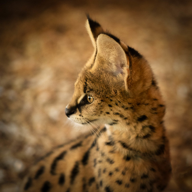 Juvenille Serval