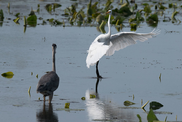 The Great Blue & White Egret -02560