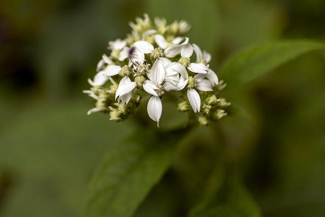 Verbesina virginica, White County, Tennessee
