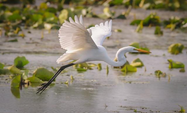 Egret in Flight - 0193