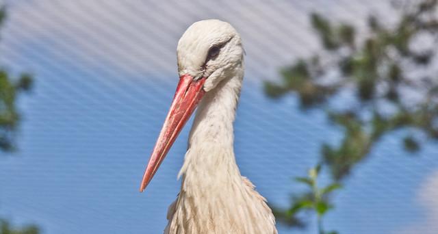 Langschnabel # 2 / Long Beak # 2
