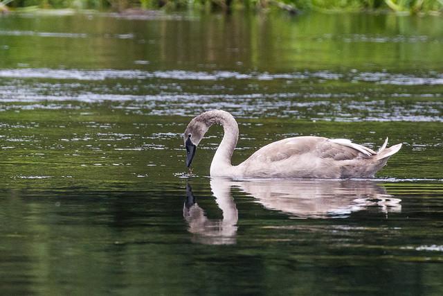 Cygnet Mute Swan