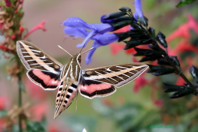 248A9435 hummingbird moth