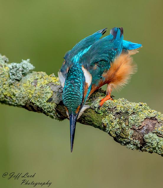 DSC0695  Kingfisher...