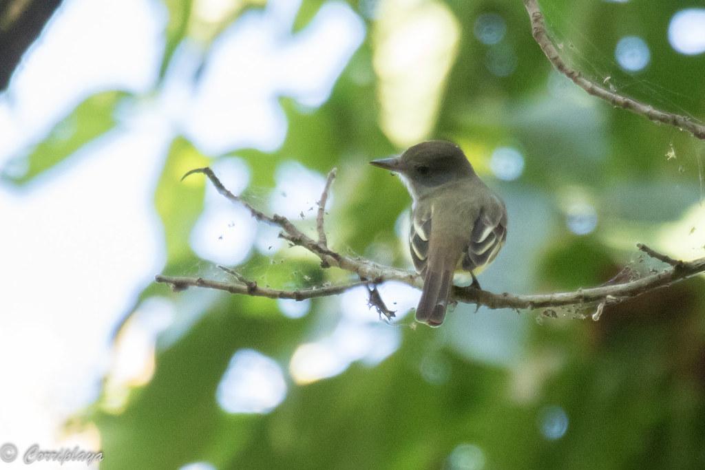 Copetón tiranillo, Brown-crested flycatcher, Tyrannulus